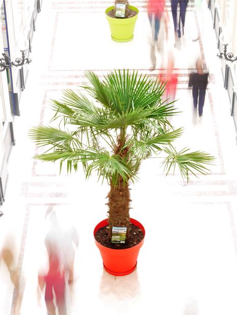 passage-pommeraye-palmier